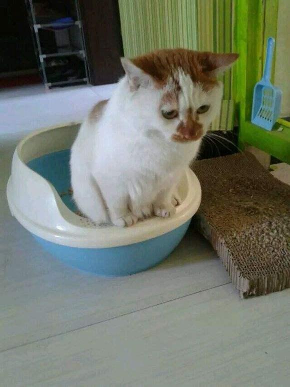训练猫儿如厕的正确方法及说明